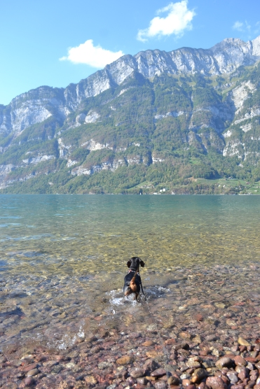 dog playing in lake in Switzerland with mountains in the background and clear water on a lead